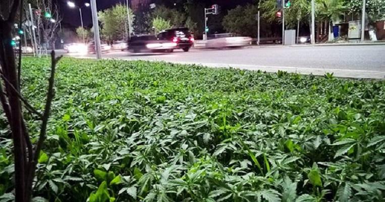 Tysiące krzaków marihuany w centrum stolicy Kazachstanu