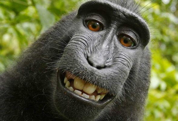 Fotograf pozwany. Ma oddać małpie pieniądze za jej selfie