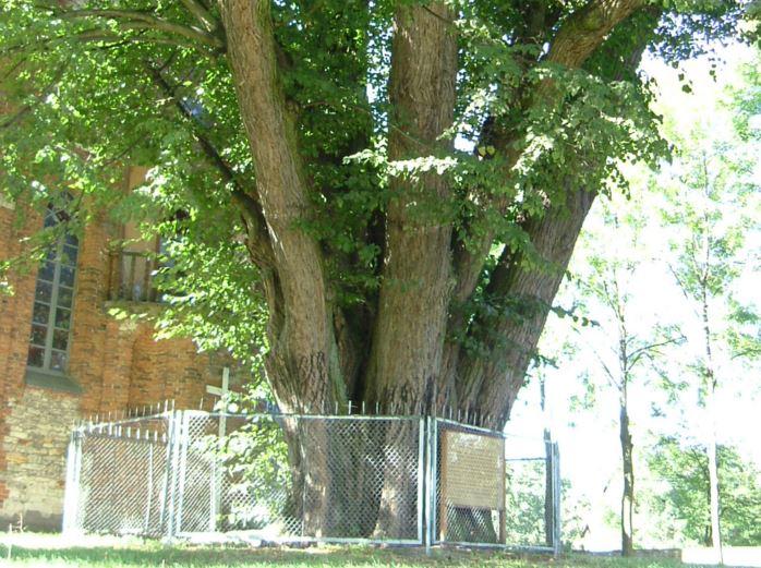 Katoliccy pielgrzymi gryzą 520-letnie drzewo. Jest zagrożone, otoczono je płotem