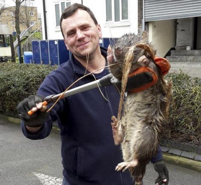 Londyn: Ogromny szczur na placu zabaw. Miał ponad metr długości