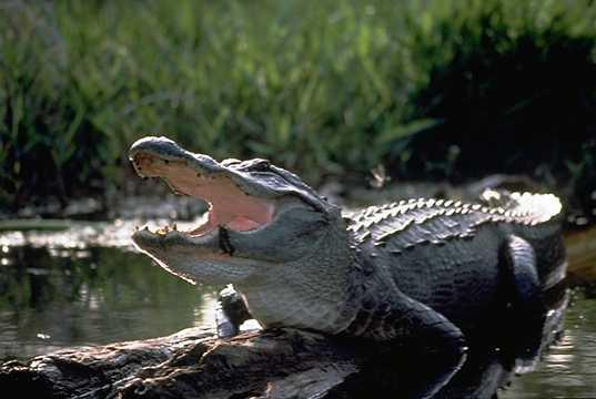 Ojciec dziecka zabitego w Disneylandzie twierdzi, że w sprawę zamieszane są 2 aligatory