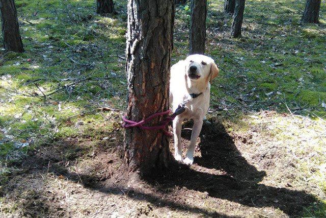 Internet szuka kmiota, który skazał psa w lesie na śmierć w męczarniach. Poznajecie labradora?