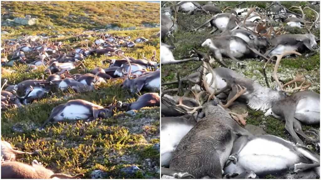 Cmentarzysko reniferów na norweskim płaskowyżu. Setki zwierząt zabić miała burza (video)