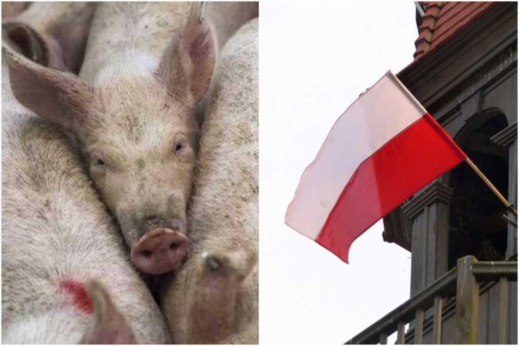 To nie żart. Świnie zagrożone Afrykańskim Pomorem pójdą na konserwy. Zjeść je mają Polacy