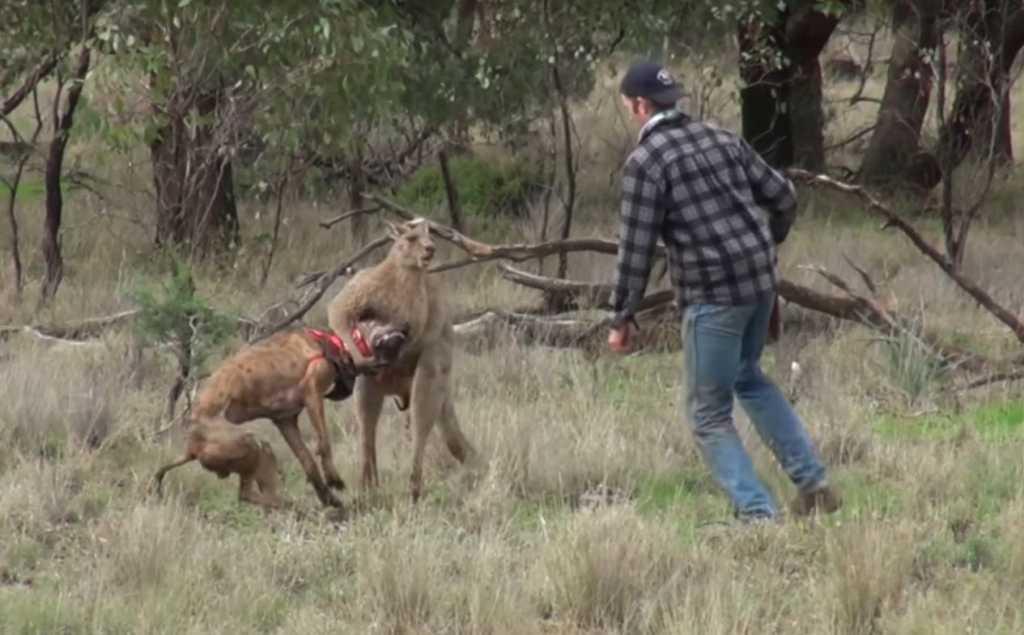 Absolutny hit sieci. Wdał się z kangurem w pojedynek na pięści by ratować psa (VIDEO)
