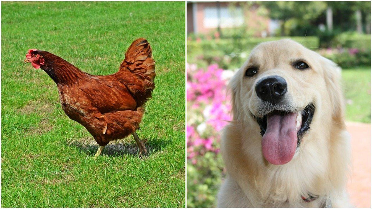 Udowodniono, że kurczaki mają taką samą osobowość i inteligencję jak psy