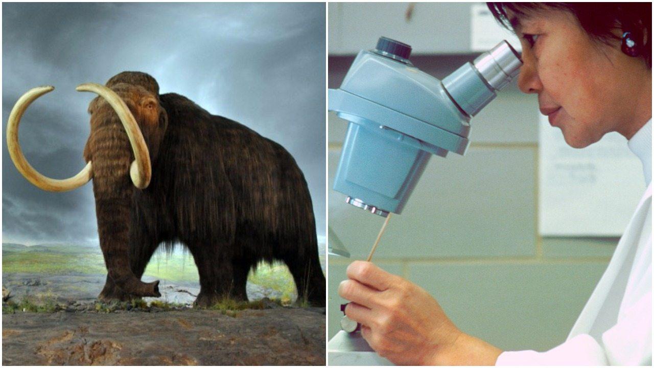 Naukowcy z Harvardu obiecują: Za 2 lata wskrzesimy mamuty