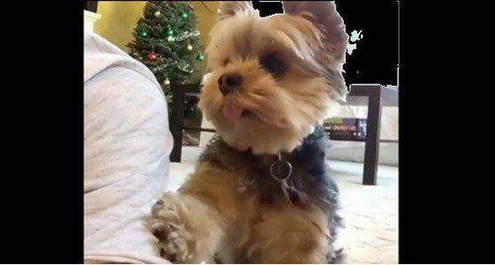 Mały piesek wkurza się, gdy jego pan nie zwraca na niego uwagi. Spójrz jak zareagował (VIDEO)