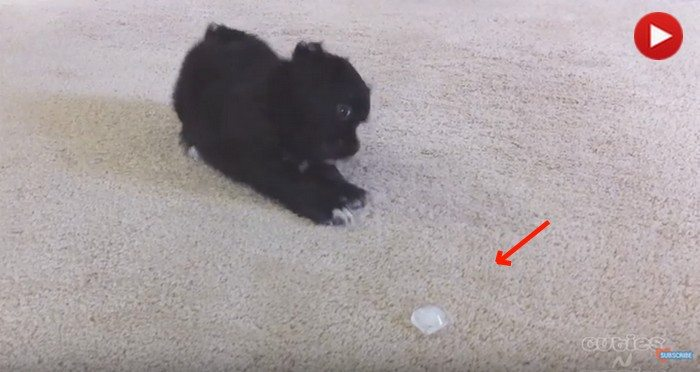 Mistrzowska reakcja małego pieska na kostkę lodu. Nie wiedział co to takiego (VIDEO)