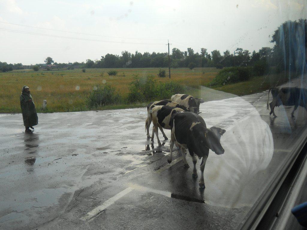 krowy_w_czarnobylu