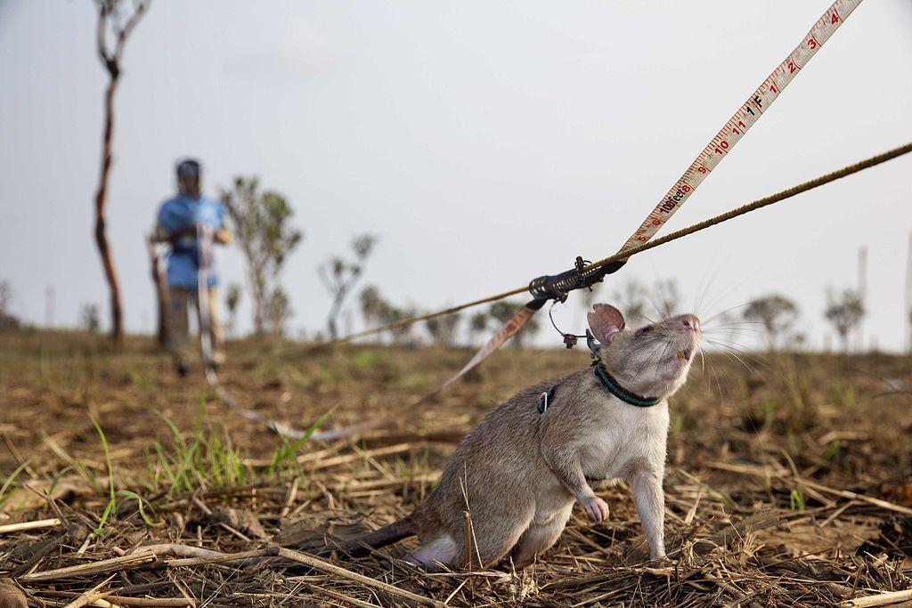 Dzieje się! Szczury rozminowują kraj!