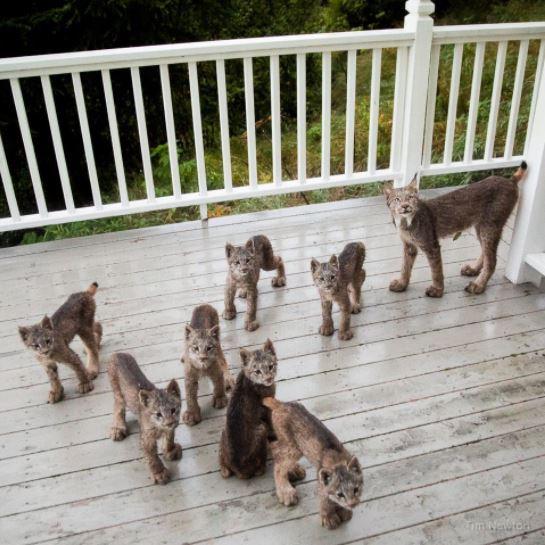rodzina rysiów