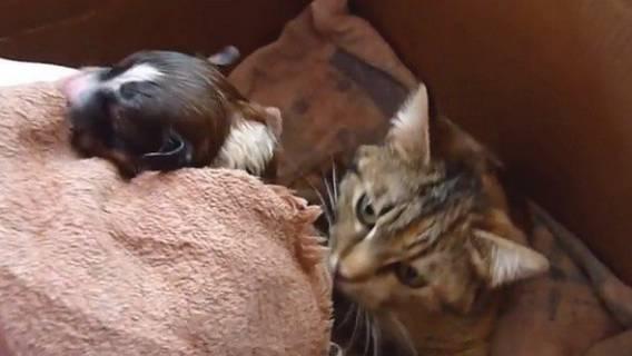 Pokazano kociej mamie małego szczeniaczka. Spójrz na jej niesamowitą reakcję!... (VIDEO)