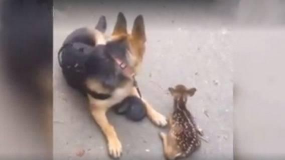 Owczarek niemiecki znalazł na ulicy małą sarenkę i zaczął ją ochraniać. Zwróć uwagę na jego zachowanie (VIDEO)