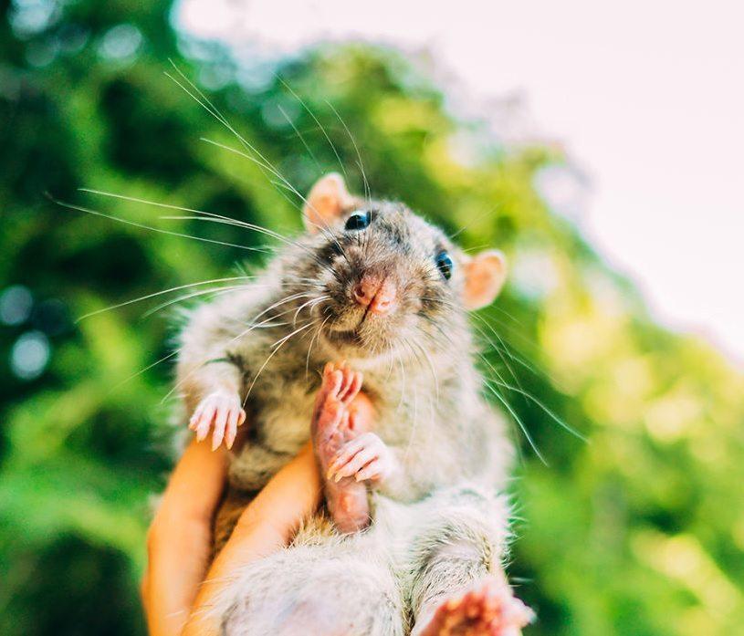 szczury0