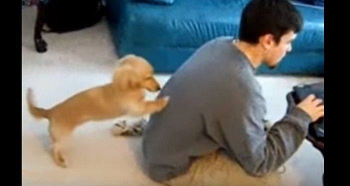 Szczeniak próbuje zwrócić na siebie uwagę właściciela, który przez cały dzień siedzi przed komputerem (VIDEO)
