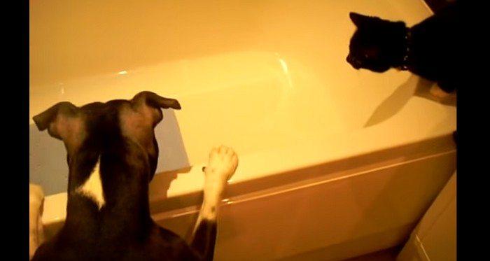 To co się zaraz stanie było do przewidzenia. Kot i niecierpliwy pies próbują wyciągnąć zabawkę... (VIDEO)