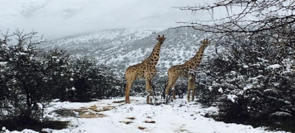 Niesamowita zmiana pogody w Afryce. Żyrafy biegają po śniegu