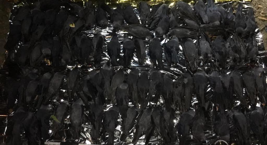 Co się dzieje? Setki martwych ptaków spada z nieba w Warszawie