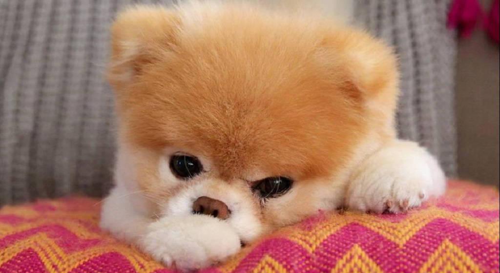 Nie żyje piesek Boo, najsłodszy zwierzak świata. Umarł z wzruszającego powodu