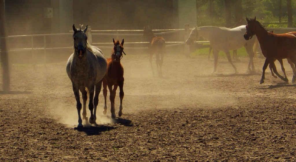 Co się dzieje w Janowie? Zamiast na koniach, zarabiają na sprzedaży mleka i hodowli bydła