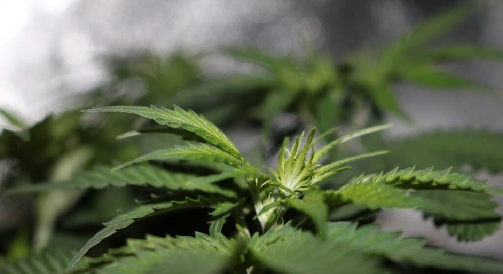 Marihuana już legalna, ale nieosiągalna. Całe zapasy wykupione