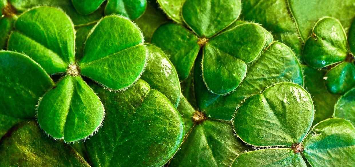 Dzień Świętego Patryka - symbole i tradycje. Skąd wzięło się zielone piwo?