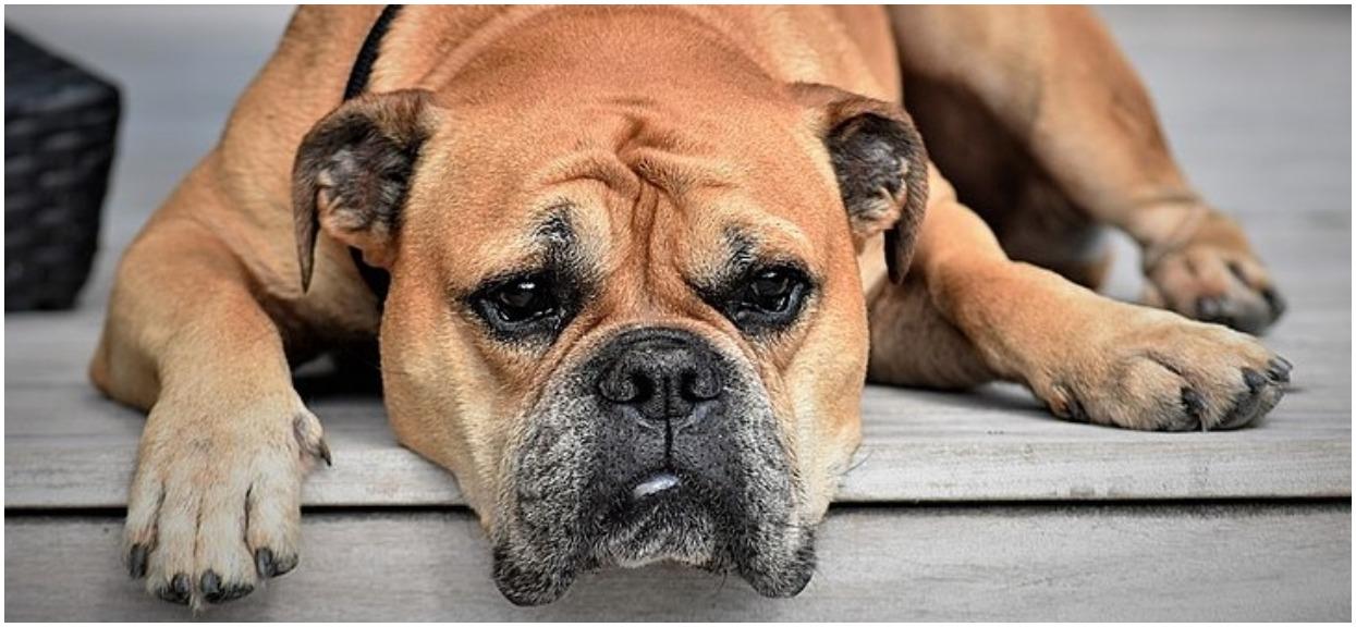 Czy pies może jeść czosnek? Czosnek jest groźny dla psa