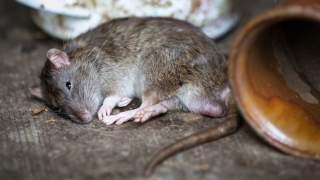 Wszyscy myśleli, że to miejska legenda. Niestety, szczury masowo wychodzą z toalet