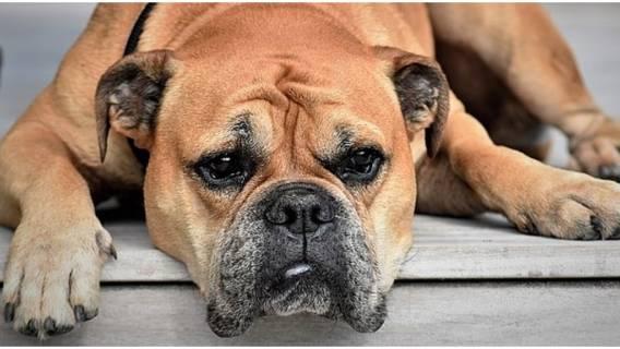 Czy pies może jeść czosnek