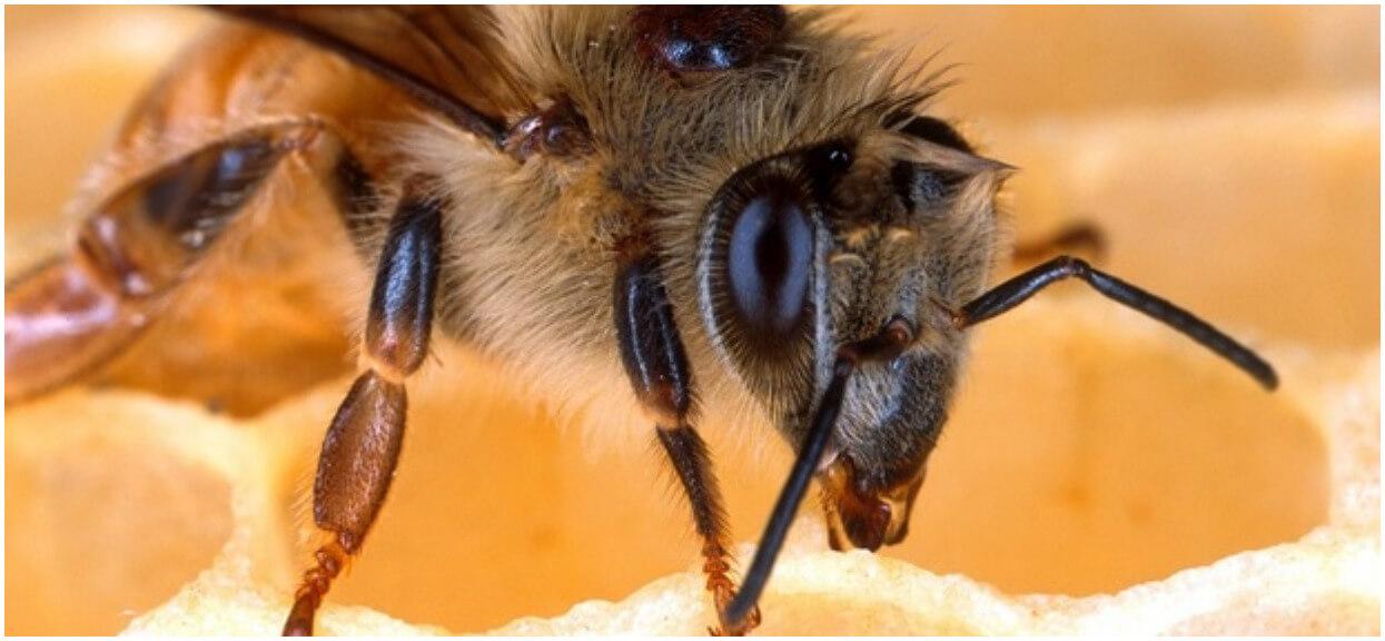 Dlaczego należy chronić pszczoły? Od nich zależy nasze życie