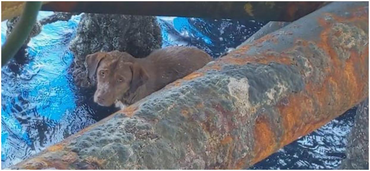 Wycieńczony i przerażony pies na morzu. Płynął 220 km od brzegu
