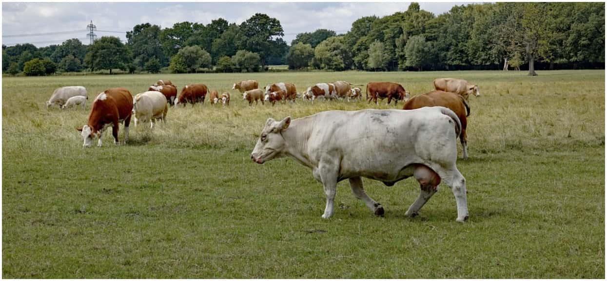 """PiS oszukał rolników? Ogromny problem z wypłatami """"Krowa Plus"""""""