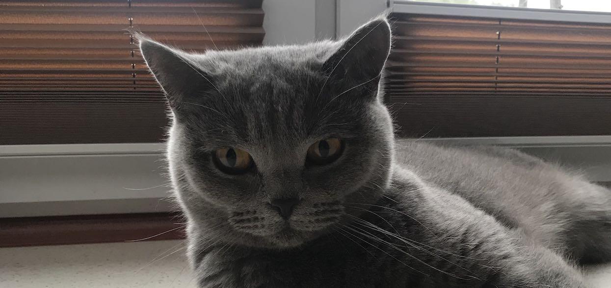 Jaki jest największy kot domowy na świecie? Trudno w to uwierzyć