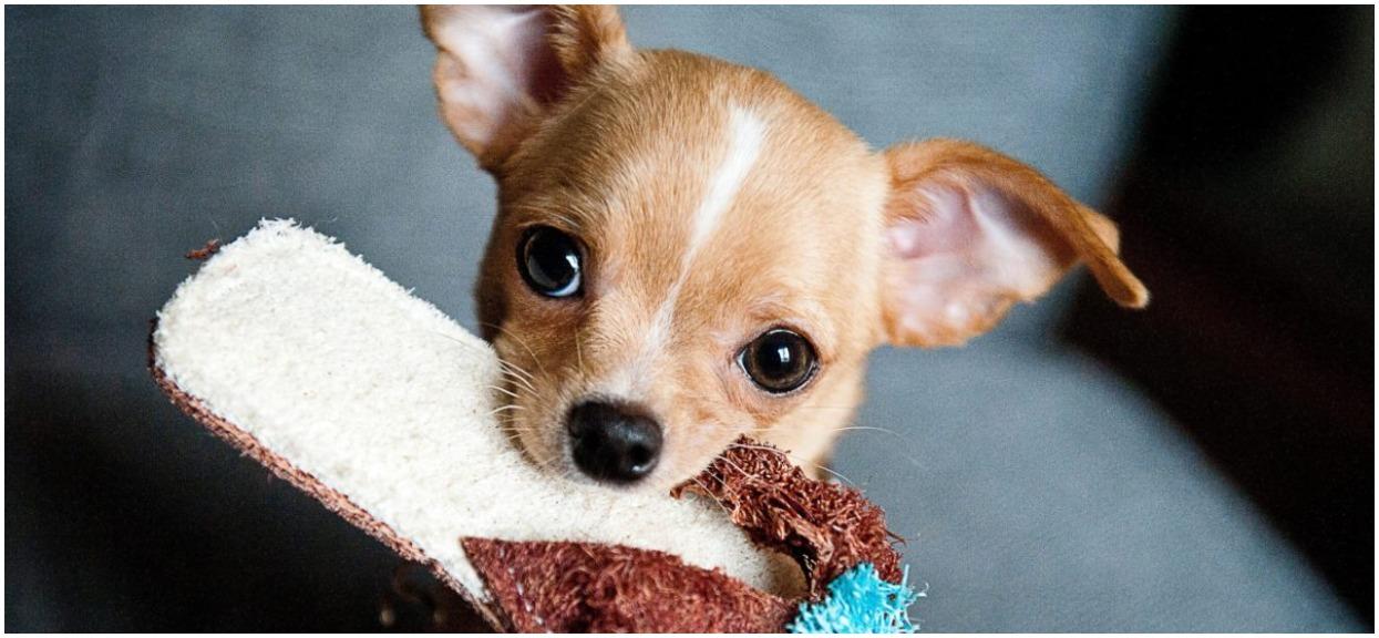 Czy pies może jeść gruszkę? Nie wszystkie owoce są dla niego dobre