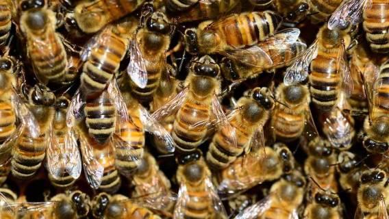 Użądlenie pszczoły - kiedy do lekarza?