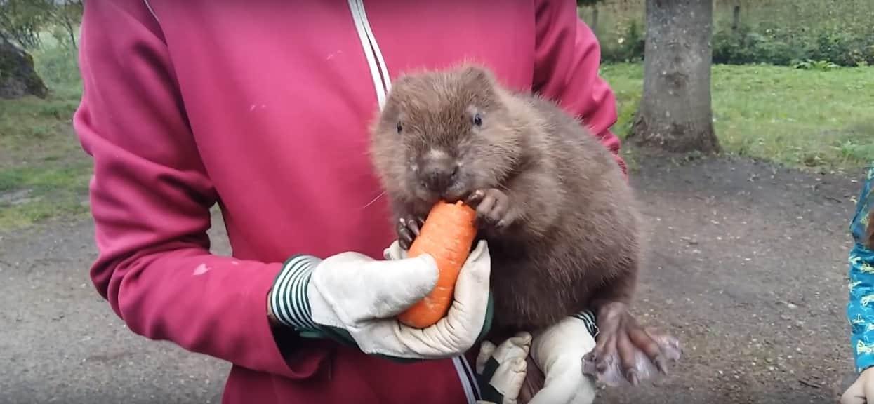 W Polsce będziemy jeść bobry? Minister PiS mocno o to zabiega