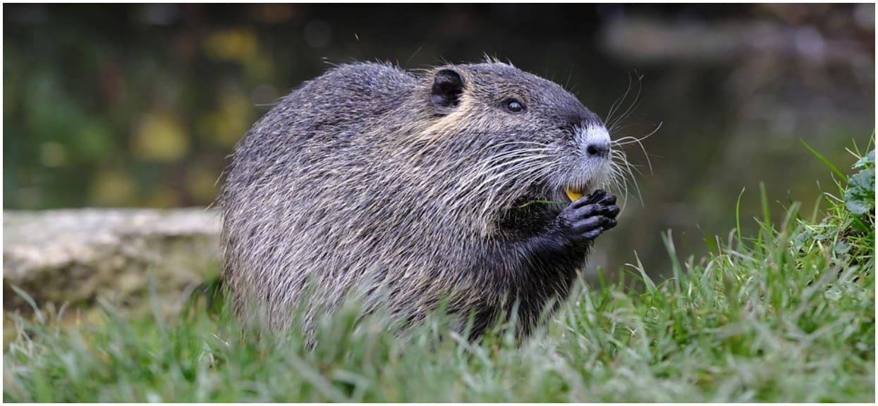 """O co chodzi z pomysłem PiS o jedzeniu bobrów? """"Kościół dopuszczał je podczas postu"""""""
