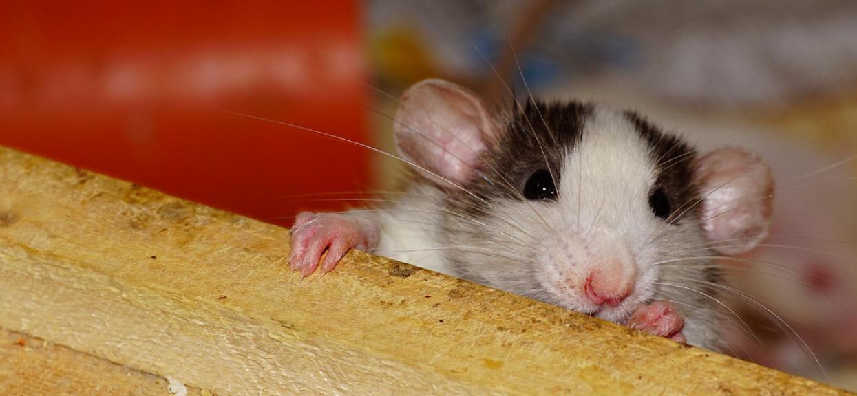 Groza w domu opieki na Podkarpaciu. Agresywny szczur zaatakował emerytki