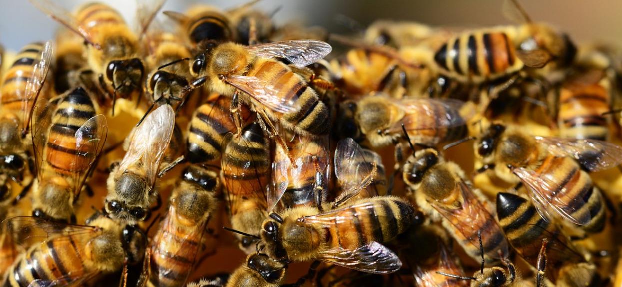 Polak zabił 250 tys. pszczół. Policja oferuje nagrodę za jego wskazanie
