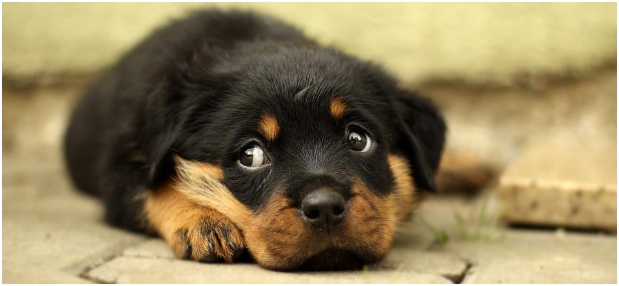 Twój pies nie ma apetytu? To może być giardioza, nie można jej lekceważyć