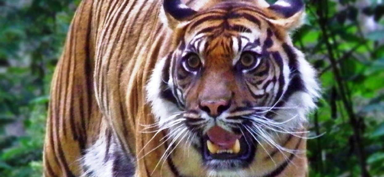 Cztery tygrysy nie miały litości dla tresera. Przerażające sceny w cyrku