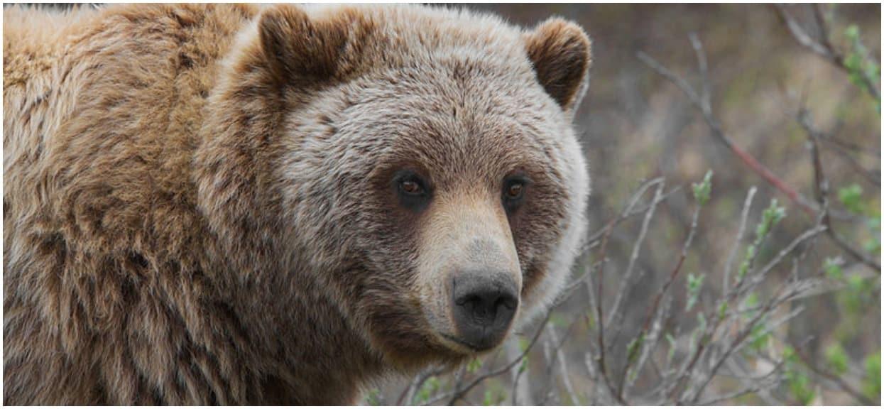 Przecieramy oczy ze zdumienia. Ten niedźwiedź włamał się do samochodu, odjechał nim, a na końcu go rozbił