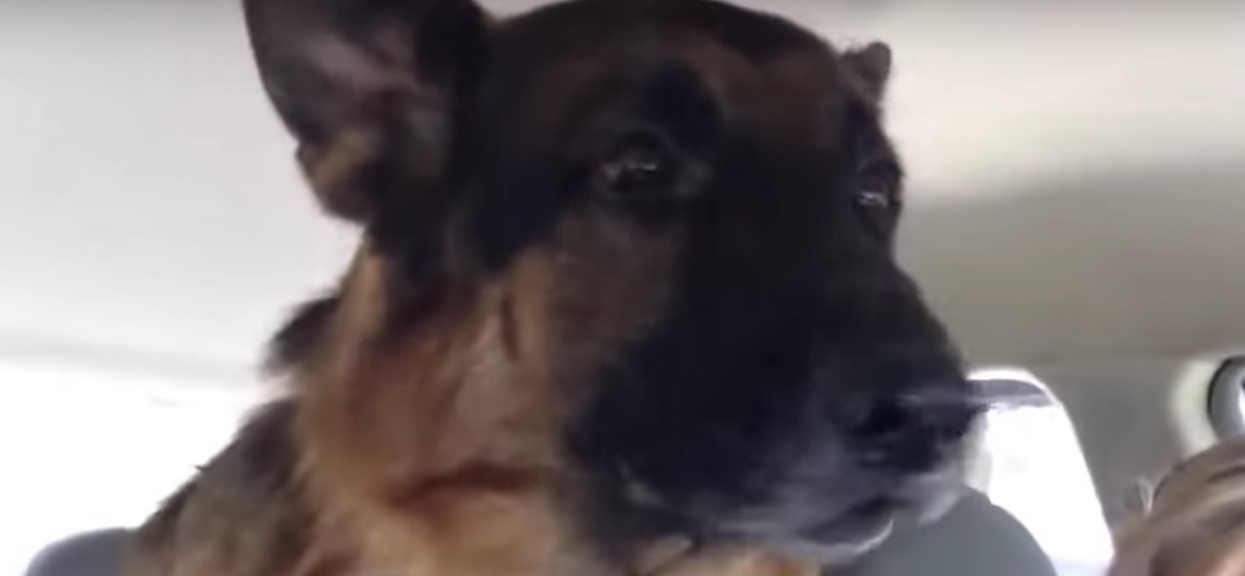 Owczarek niemiecki nagle zrozumiał, że jedzie do weterynarza. Reakcja psa jest przezabawna, będziecie płakać ze śmiechu