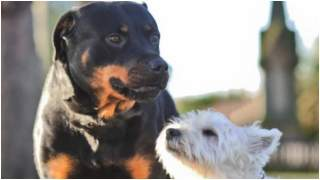 Najsłodsze psiaki na świecie? Od tej mieszanki rottweilera i terriera trudno oderwać wzrok (FOTO)