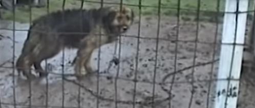 Pies był uwiązany na łańcuchu przez 10 lat. Jego reakcja, gdy został uwolniony miażdży serce