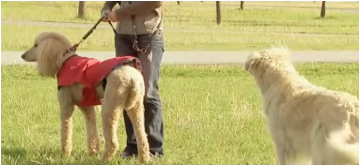 Jej pies ośmieszał inne psy na spacerze. Wszystko się nagrało, popłaczecie się ze śmiechu