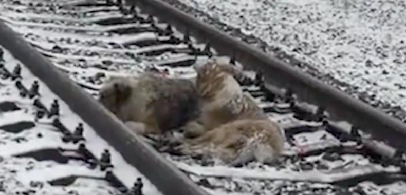 Psy leżały na torach, zbliżał się do nich pociąg. Mężczyzna stał z boku i wszystko nagrywał