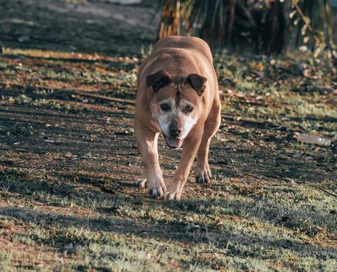 To najdroższy pies na świecie. Za jego cenę można kupić dom z basenem i samochód