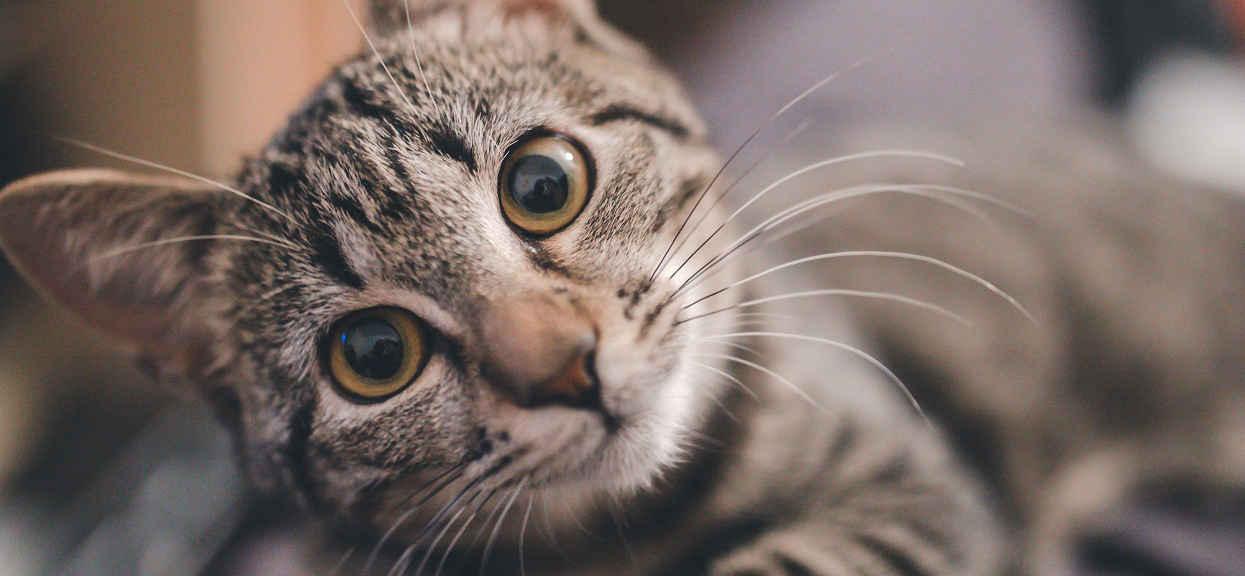 Zachowanie kota wiele mówi o właścicielu. Naukowcy uważają, że przejmują pewne cechy charakteru od człowieka
